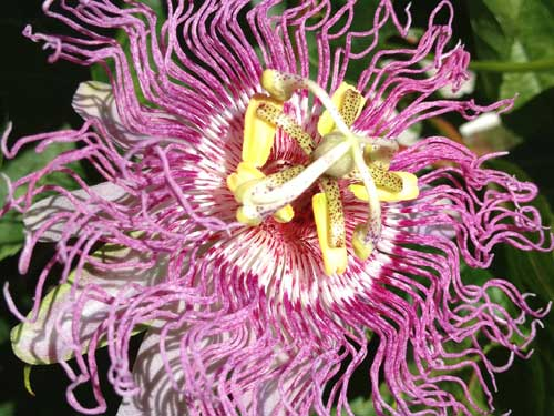 House tour - passion flower